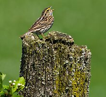 Savannah Sparrow in Full Song by Bill McMullen