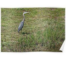 Great Blue Heron ~ Best Viewed Large Poster