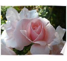 Heartfelt rose Poster