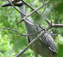 Yellow-crowned night-heron by Kate Farkas