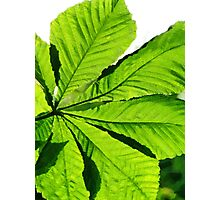 Sun on a Horse Chestnut Leaf Photographic Print