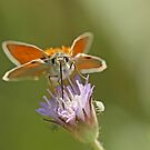 Skipper Species by Robert Abraham