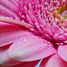 Rain Soaked Gerbera by FranWalding