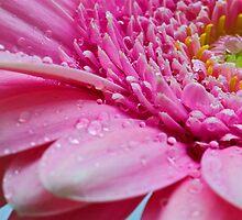 Rain Soaked Gerbera by FranWalding
