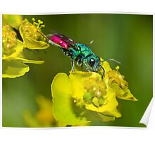 Ruby tailed wasp [Chrysis ignita group] Poster