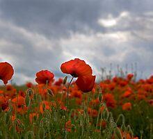 Poppy Field by FranWalding