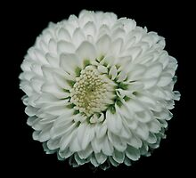 White flower 4 by DDowning