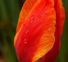 Rain Drop On Orange Tulp  by Tina Hailey