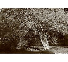 Holly Tree - Sepia Photographic Print