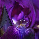 Dark Velvet-Coloured Iris by karina5