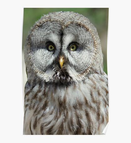 Great Grey Owl or Lapland Owl  Poster