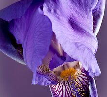 Purple Iris 3 by Jacinthe Brault