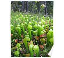 California Pitcher Plant Poster