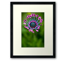 African Daisy in bloom Framed Print