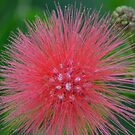 Red PomPom Bottle Brush by TheaShutterbug