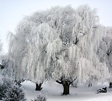 Winter's Frosted Willow  by Tina Hailey