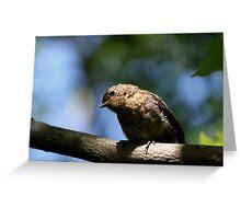 Juvenile Robin (2) Greeting Card