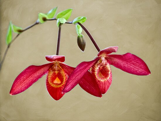 Orchid twins by Celeste Mookherjee