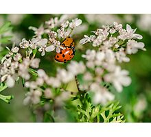 Lady Bugs on White Flowers Photographic Print