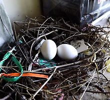 Morning Dove Eggs by cynthia greathouse