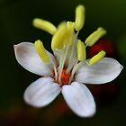 Phebalium woombye by andrachne