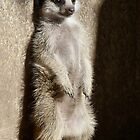 Baby Meerkat Growing Up by Margaret Saheed