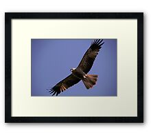 Wedge Tail Eagle Darwin Australia Framed Print