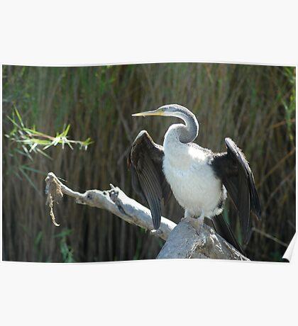 Kakadu Cormorant Poster