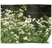 daisy like flowers Poster