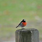 Orroral bird by peterhau