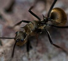 The Gilded Ant by Stephen Brown