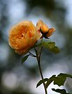 Yellow Rose by Eileen McVey
