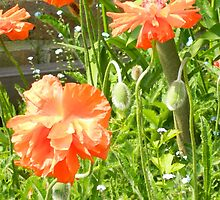 Poppies by shalisa