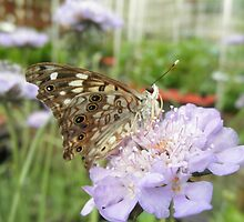 Painted Lady Butterfly by ack1128