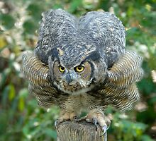 Great Horned Owl Ready to Pounce by Bryan Shane