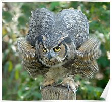 Great Horned Owl Ready to Pounce Poster