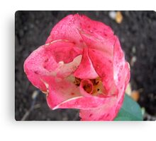 Governor General's Rose Canvas Print