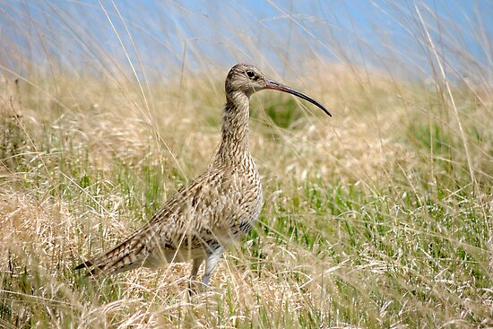 Curlew by TheWalkerTouch