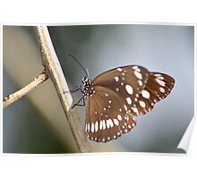 Common Butterfly Poster