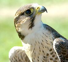 Peregrine Falcon Concentrating  by Bryan Shane