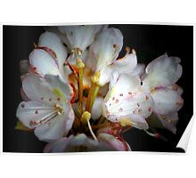 Rhododendron Explosion Poster