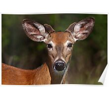 Young spring buck Poster