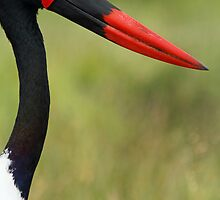 Saddle-billed stork by Dan MacKenzie