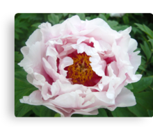 Peony lightness Canvas Print