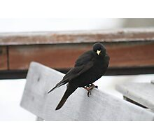 Alpine Chough On Bench Photographic Print