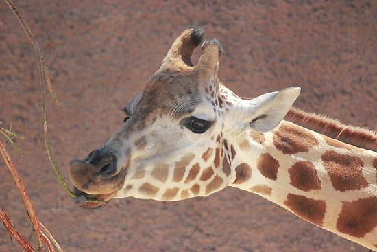 Rothschild Giraffe by Jacqui7
