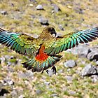 Kea - New Zealand by Kimball Chen