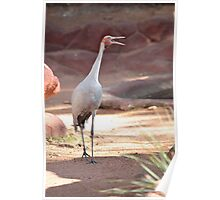Singing Brolga Poster