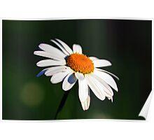 Medow daisy Poster