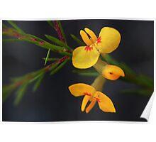 Dillwynia floribunda  Poster